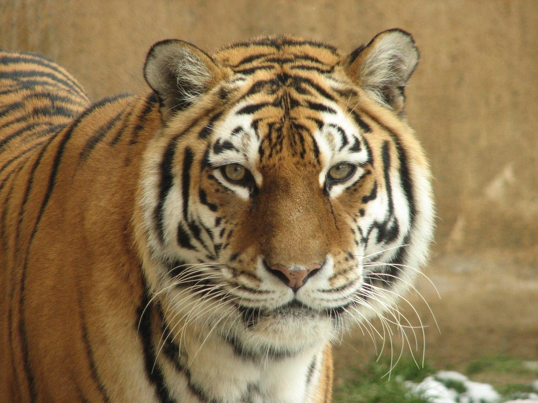 Tigerweibchen Natascha